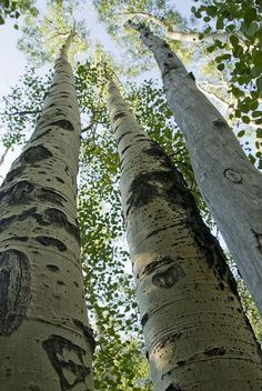 Birch trees- grew up with these beautiful trees in my back yard