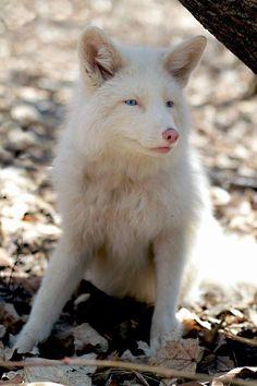 Magnifique renard blanc destiné à finir écorché et transformé en manteau de fourrure, Miko a été sauvé, pour finir sa vie tragiquement... Faut-il encore des preuves de la cruauté et de l'imbécillité humaine ?