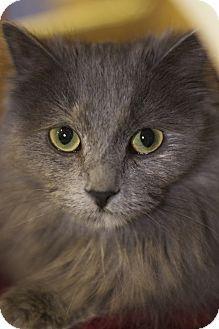 Domestic Longhair Cat for adoption in Sioux Falls, South Dakota - Gidget