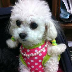 Sasha toy poodle