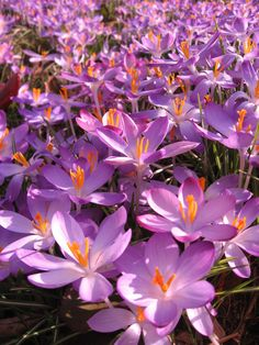 Crocuses flowering at Kew Gardens