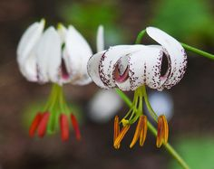 Lilium duchartrei - shade, woodland plant (sends out runners and creates colonies quite far, lightly fragrant