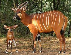 "a bongo with baby.the ""bongo"" is a type of African antelope. African Antelope, African Animals, African Safari, Cute Baby Animals, Animals And Pets, Wild Animals, Bongos, Okapi, Rare Animals"
