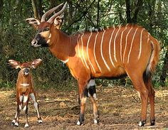Bongo - Beautiful Striped Forest Antelope | Animal Pictures and Facts | FactZoo.com