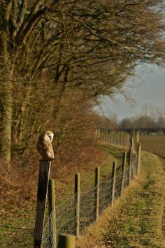 barn owl on the fence