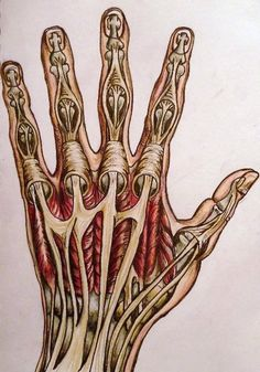 this articulation of tendons and bone is actually very accurate for drawing the hand.