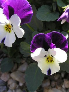 """Violas...small, delicate """"cousin"""" of the pansy"""