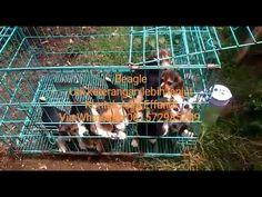 VON JAVELLINE KENNEL  BEAGLE  Stamboom on progress , vaksin On Progress  Obat cacing done Anni Effendi Whatsapp 081572985289 Pin BBM 51A22388  www.facebook.com/VonJavellineKennel breederanjingras.blogspot.co.id vonjavellinekennel.wordpress.com IG : von_javelline_kennel   #puppies  #anjingras  #jualanjing  #anjingrasmurah  #beagle  #puppiesofinstagram  #jualanjingmedan  #jualanjingmanado  #jualanjingsolo  #jualbeagle #jualbeaglebandung #jualanjingbandung  #jualanjingjakarta  #anjingdijual