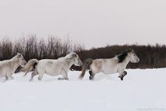 Yakut horse, AKA Yakutian Horse. Wild horse native to Russia's Siberian environment... related to the Mongolian and Prezwalski's horse, and is often caught and tamed by people for riding and pulling sleds.