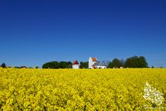 Rapsfeld auf Bornholm #Raps #Feld #Fruehling #Bornholm #Daenemark #Denmark