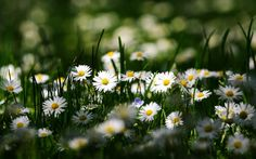 Nature Chamomile Flowers Nature Background Wallpapers on