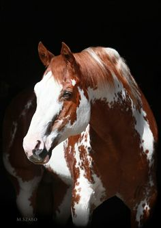 Paint Horse stallion Sierra Supreme