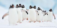 Penguin Highway by Marsel van Oosten on Gentoo penguins, Antarctica. Penguin Facts, Penguin Day, Photography Tours, Wildlife Photography, Animal Photography, March Of The Penguins, Gentoo Penguin, Cute Penguins, Antarctica