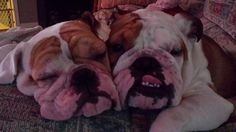 ❤Cuddling in the glow of the Christmas tree lights.! ❤ Posted on Bulldog Pics