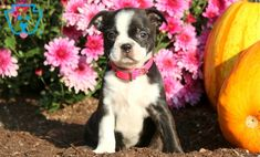 Sally | Boston Terrier Mix Puppy For Sale | Keystone Puppies Poodle Mix Puppies, Terrier Mix, Design Development, Puppies For Sale, Sally, Boston Terrier, Dogs, Animals, Animales