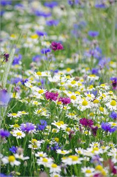 Wildflower meadow with cornflowers and chamomile