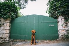 Roux (my Irish Setter - Golden Retriever mix puppy) posing in dog friendly Carmel By The Sea on our California Road trip   Emilie Waugh Photography