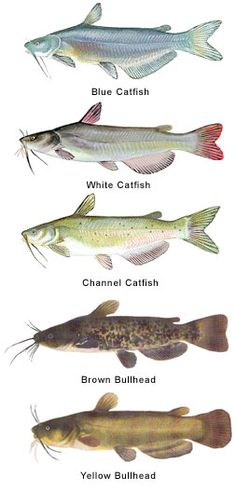 1000 images about fish catfish on pinterest blue for Best time to fish for catfish