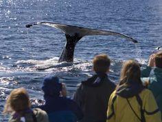 Watch minke, finback, and humpback whales glide through the Atlantic Ocean off the coast of Cape Cod... - Sam Chadwick / Shutterstock.com