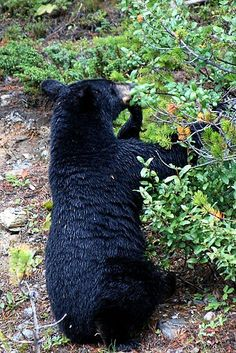 Black bears are my favorite.