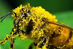 Bee pollen, the food of young bees, is packed with valuable nutrients that support a healthy immune system and so much more. Learn why bee pollen is an amazing supplement to try. Bee Pollen, Bee Happy, Bee Keeping, Natural, Ale, Instagram Posts, Animals, Immune System, Artsy Fartsy