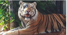 Mike the tiger isn't even dead yet but Louisiana State University (LSU) is already searching for the school's next victim…a replacement tiger cub.LSU's live tiger mascot Mike VI (although there have been SEVEN not six tiger mascots at LSU over the years all named Mike) was diagnosed in May 2016 with a rare, incurable cancer. LSU Veterinarian David Baker DVM now says Mike's days are numbered as additional tumors have recently been found.While we are saddened to see any tiger pas