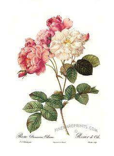 http://www.finerareprints.com/botanical/redoute/15284.jpg