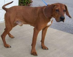 Roosevelt ID number22775 - Nesbitt, MS - Times is running out for him.    Contact: Desoto County Animal Shelter 662-429-5013 or  email monicamock@desotocountyms.org  Roosevelt – Redbone Coonhound Mix - #22775  Young Hound Mix - very smart      Roosevelt needs to get out of the shelter. He is an eleven month old, male, Redbone hound mix. He is healthy and handsome with his nose to the ground.