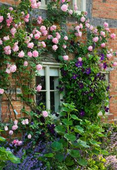Climbing duo: Clematis 'Viola' and Rose 'Mme Caroline Testout' | source: gardenia