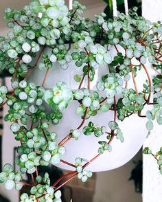 Pilea glauca hanging plants, apartment therapy, floral wreath, floral crown, home ideas Hanging Plants, Potted Plants, Cactus Plants, Cacti, Porch Plants, Succulents Garden, Garden Plants, Planting Flowers, Belle Plante