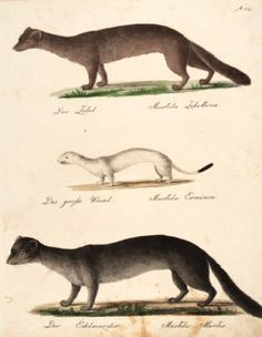 BRODTMANN, Carl Joseph. Der Zobel, Das grosse Wiesel, Der Edelmarder [The Sable, The Big Weasel, The Marten]