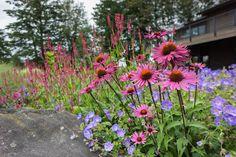 Long Blooming Perennial Combo for Full Sun-021016DD4