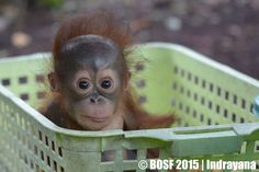 This is Yutris. Latest orphan to arrive at the sanctuary. www.opf.org