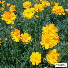 A true staple to meadows across the country, Lance Leaf Coreopsis is a tough perennial that is native to North America. Perennial.