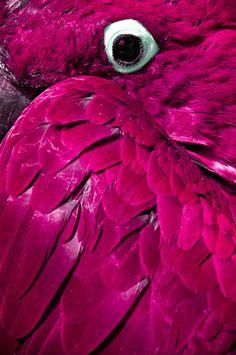Plumaje rosa