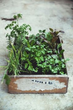 mini herb garden I keep telling hubby we should do this to teach our baby to water plants and stuff Herb Garden, Vegetable Garden, Box Garden, Micro Garden, Green Garden, Green Plants, Container Gardening, Gardening Tips, Organic Gardening