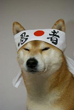 Perro japonés Shiba