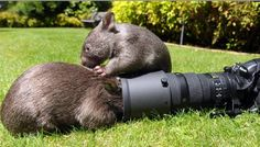 wombats, studying the art of film...