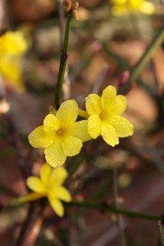 Winterjasmijn (Jasminum nudiflorum) draagt tot april gele bloemen.