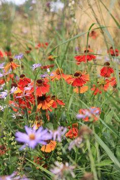 Helenium (oranje) en aster (lila) doen het goed op normale tot vochtige tuingrond.