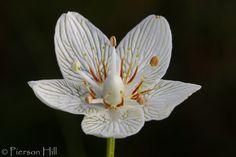 Carolina Grass-of-Parnassus:  Parnassia caroliniana [Family:Celastraceae] - Flickr - Photo Sharing!