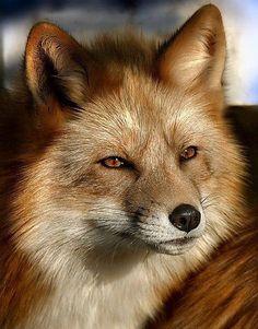 beautiful eyes fox