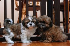 Shichon puppies just like Cooper