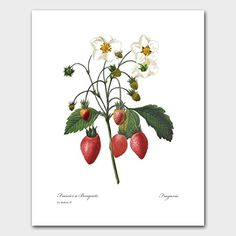 Red Kitchen Print (Fruit Prints, Food Art, Antique Redoute Botanical Artwork) Set of 3 Red Wall Decor, Strawberry Art, Sibylla Merian, Kitchen Prints, Kitchen Artwork, Or Mat, Wild Strawberries, Fruit Print, Red Walls