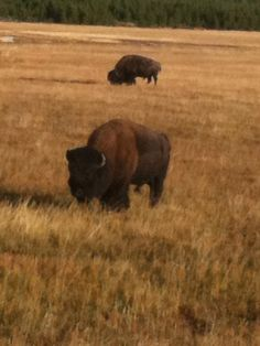 That's some Buffalo in West Yellowstone National Park