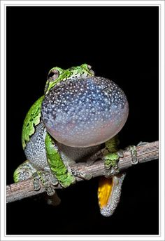 Gray Treefrog Singing Brenda Huntsinger via Melanie Bennett onto Frogs, Insects. Reptiles And Amphibians, Les Reptiles, Mammals, Cute Creatures, Beautiful Creatures, Animals Beautiful, Cute Animals, Funny Frogs, Cute Frogs