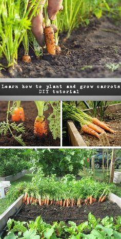 Learn how to plant and grow carrots – DIY tutorial - NaturalGardenIdeas.com #VegetableGarden