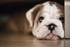 Cute baby bulldog!
