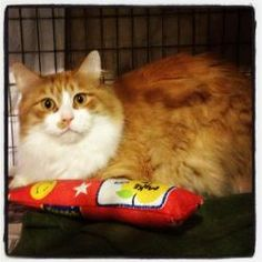 Melvin -maine coon mix is an adoptable Maine Coon Cat in Cleveland, OH. Melvin is a gorgeous Maine Coon mix with the most beautiful orange and white coloring. He came to RCAF from an older man who bec...