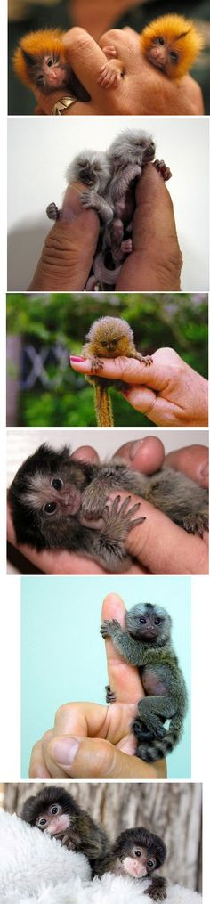 "Finger monkeys are actually pygmy marmosets from the rain forest. These primates belong to the family Callitrichidae, species Cebuella and genus C. pygma. They are the tiniest living primates in the world. They are also known by the names ""pocket monkeys"" and ""tiny lions"". Theses adorable guys hug and grip on to your finger so tight that it pulls at your heartstrings and you want to take them home with you."